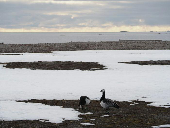 Barnacle geese on Spitsbergen. Photo: Jouke prop