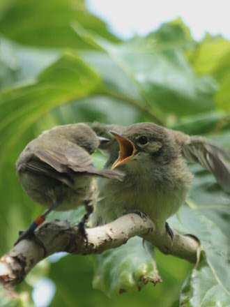 Babysitting for the Seychelles warbler, a species that has been monitored for over thirty years. Photo Sjouke Kingma