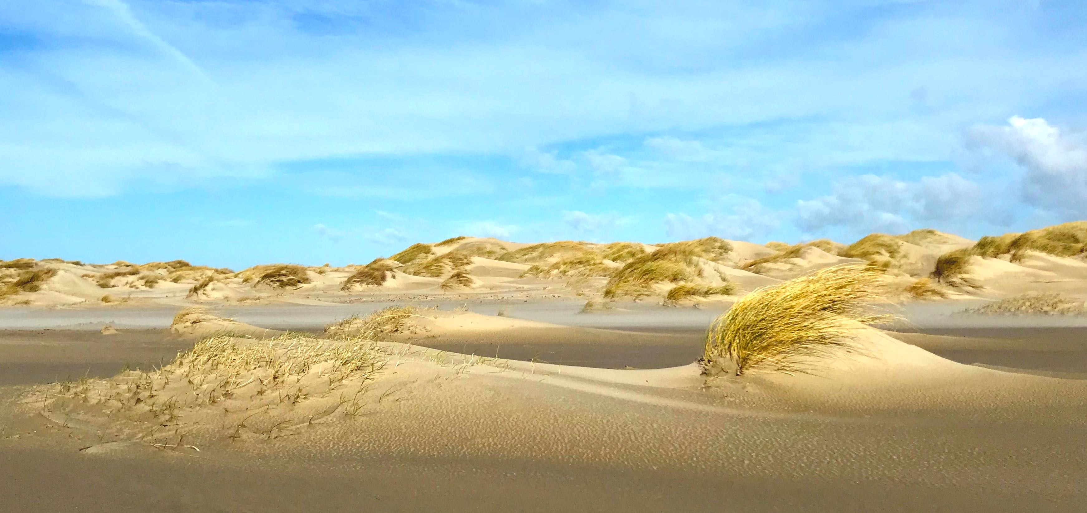 Sand couch (left) uses dispersed growth patterns to build low, wide dunes. Marram grass (right) catches more sand immediately around it, resulting in a higher dune. Location: De Hors, Texel. Credits: Valérie Reijers