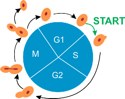 The cell cycle of yeast cells