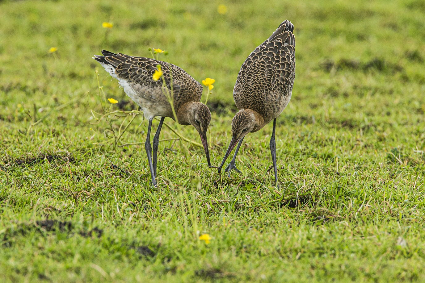 Young black-tailed godwits also learn from one another Photo: Jan van de Kam