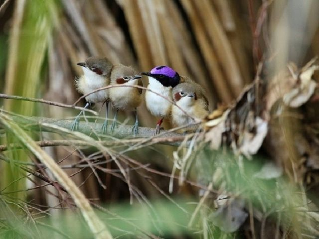 Purple-crowned fairy wrens. In the middle of the little group, there is a male in full breeding plumage: the name-giving purple crown, surrounded by a black circlet. Image credit: Niki Teunissen/AWC.