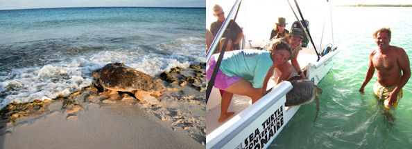 Photo left: Release of a Loggerhead female after satellite transmitter deployment in Bonaire, 2007 (Photo by Sea Turtle conservation Bonaire) Photo right: Marjolijn Christianen, Mabel Nava and Funchi Egberts releasing a tracked green turtle (Photo by MJA Christianen).