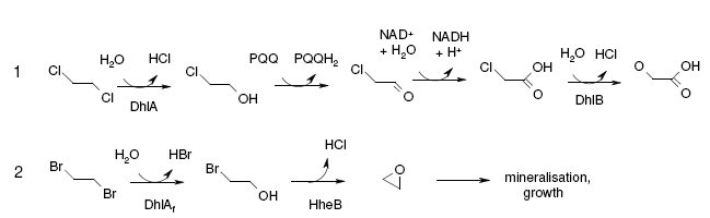 Degradation of 1,2-dibromoethane by a Mycobacterium sp. | Research ...