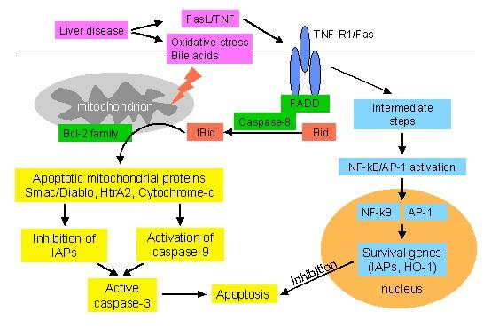 Apoptosis Research Program Department Of