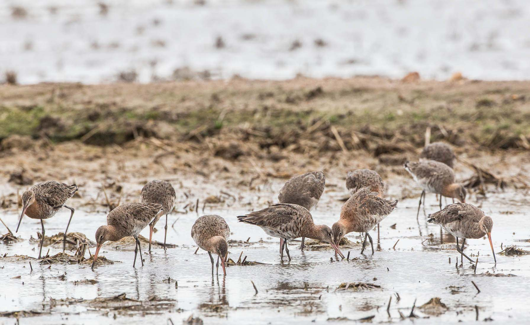 Photo: A flock of black-tailed godwits (Limosa limosa limosa) foraging in a rice field in Extremadura, Spain. Credit: Jan van de Kam