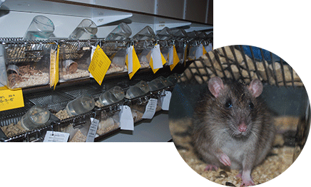 Rodent breeding facility, rat