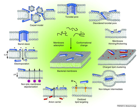 Various mechanisms for antimicrobial peptides to interact with bacterial membranes.
