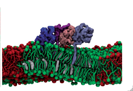 Lipid-anchor driven partitioning of Hedgehog proteins into the liquid-ordered domain of a model membrane. The four different copies of the proteins are coloured pink, purple, blue and light blue. Saturated lipid, unsaturated lipid, and cholesterol are coloured red, green and white, respectively.