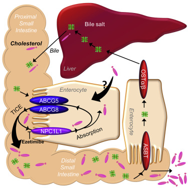 Transintestinal Cholesterol Transport