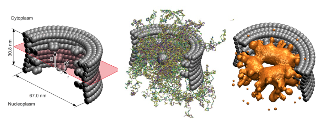 Structural model of the nuclear pore complex. Bead-representation of the yeast NPC (left), snapshot of the FG-Nups (middle), density distribution of the amino-acids.