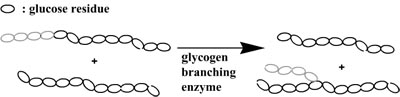 action of branching enzyme