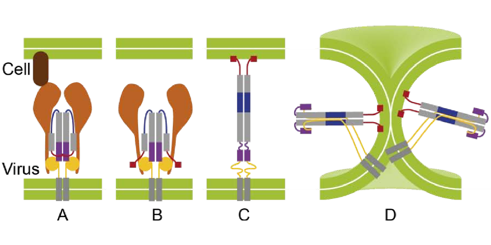Influenza viral fusion