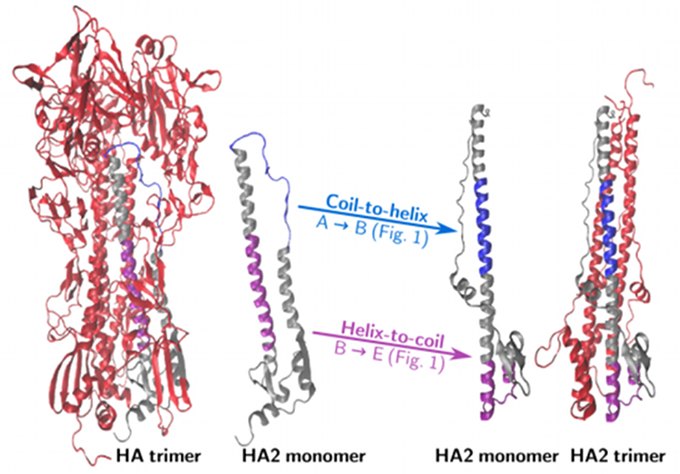 Schematic of the key conformational changes in the hemagglutinin (HA) protein that drives fusion of the membrane of a virus and of a cell. Once fusion has taken place, the virus releases its RNA into the cell for replication.