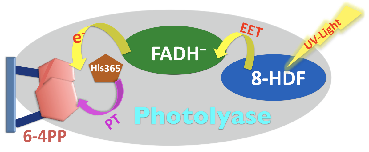 Dynamics and mechanism of DNA repair by photolyases