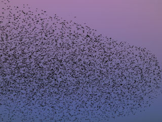 What rules does a starling follow when it flies in a swarm? At the Theoretical Biology department they are studying the 'traffic rules' in swarms. ©Vasily A. Ilyinsky.
