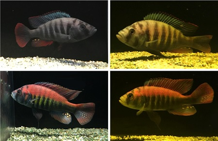 Blue species (upper panel) and reds (lower panel), under lighting conditions resembling surface (left) and 5 meters deep (right) | Photo's D. Shane Wright