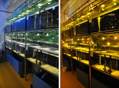 Fish tanks with lighting conditions resembling surface (left) and 5 meters deep | Photo's M. Maan