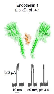 Endotheline in de nanoporie, met het signaal  Illustrattie Maglia / Nature Communications