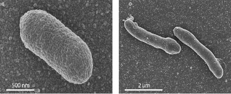 The left panel shows: EM image of a normal E. coli cell. Right panel: an engineered cell with a mixed membrane, which shows an elongated form. | Photo's University of Wageningen / Van der Oost laboratory