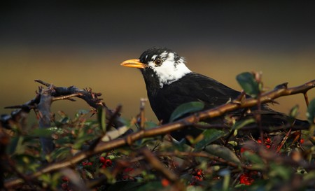 Blackbird with leucism | Photo Miguel Antón