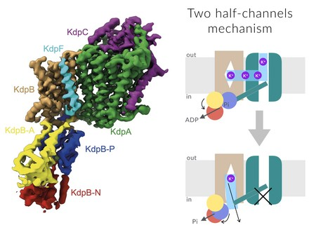 (Left) One of the two cryo-EM structure of KdpFABC. (Right) New proposed mechanism of action for KdpFABC reveals a so-far unprecedented chimeric transport, where an ion pump has hijacked an ion channel. Here, potassium ions are attracted from the outside by the high-affinity and high-selective channel-like subunit (KdpA in green), redirected via an intermembrane tunnel to the P-type subunit (KdpB in brown), and from there released to the cytoplasm. | Illustration C. Paulino / University of Groningen