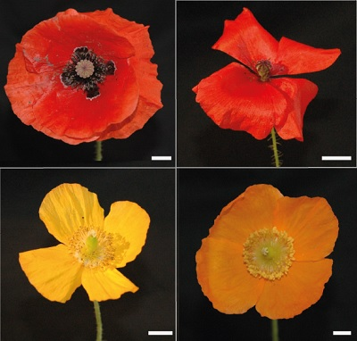 Poppies | Photo C. v.d. Kooi / University of Groningen