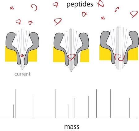 Als een peptide in het dunne uiteinde van de nanoporie terechtkmot, veroorzaakt dit een verandering in de stroom, recht evenredig met de massa van het peptide. Met poriën van verschillende grootte is het mogelijk verschillende peptiden tegelijk te meten.| G. Maglia