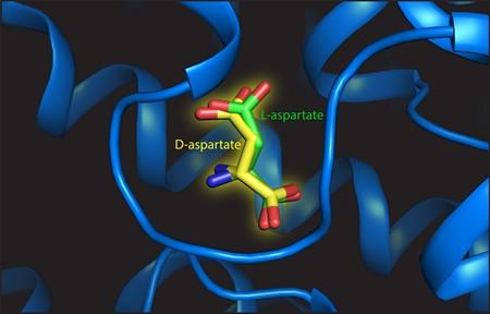 L- and D-aspartate on the binding site. | Illustration Valentina Arkhipova