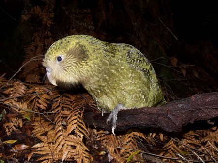 New Zeeland kakapo | Photo Andrew Digby, New Zealand Department of Conservation