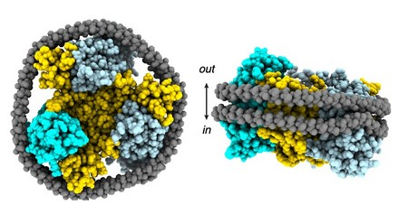 Top- and side view of a nanodisc, the anchor part in yellow and the lifts in blue. A protein belt (grey) keeps the disc together. | Illustration Arkhipova et al.