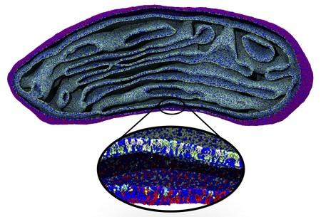 Beeld van een cel-orgaantje, het mitochondrion, dat voor het eerst in zijn geheel op moleculair niveau is gesimuleerd. | Illustratie Marrink Lab