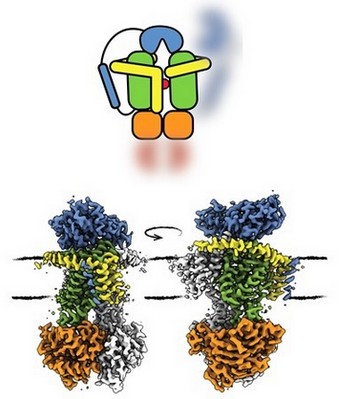 The conformation in which OpuA has transferred the substrate (red) from the receptor (blue) to the transport domain (green) is shown in the cartoon. The scaffold of the membrane is shown in yellow, and the motor unit that uses ATP to drive the transport is shown in orange. | Illustration Membrane Enzymology group, University of Groningen