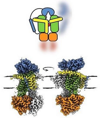De tekening toont de structuur van OpuA waarin het substraat (rood) is overgebracht van de receptor (blauw) naar het transportdomein (groen). Een 'gordel' (geel) versterkt het eiwit en in oranje is de motor-eenheid weergegeven die ATP gebruikt om het transport van energie te voorzien. | Illustratie Membraanenzymologie groep. RUG