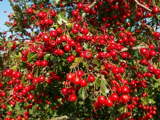 Hawthorn berries may help againts heart conditions