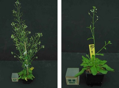Genetically identical Arabidopsis plants, with different epigenetic markers.