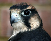 Peregrine falcon (photo: Keven Law, LA, USA, CC BY-SA 2.0 license)