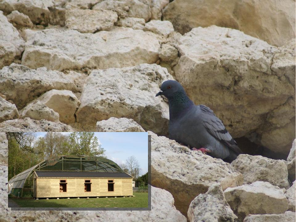 Columba Livia (in Italy) and the large semi-natural pigeon house and flight cage facility in Haren, the Netherlands